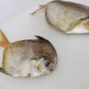 Pesquisadores associados ao Acervo Zoológico da Unisanta descrevem nova espécie de peixe marinho no litoral brasileiro